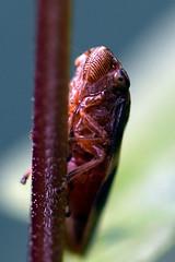 1584_Leafhopper (Realmantis) Tags: leafhopper animal bug closeup insect invertebrate macro nature