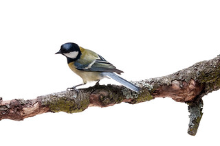 Great Tit in front of white background