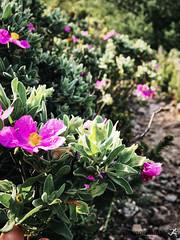 Sormiou Floral mai 2018 -  12 (akunamatata) Tags: sormiou floral balade mai 2018 parc des calanques park provence fleurs flowers sentier sciatique
