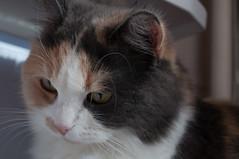 Made by Joey Kniest (Joey Kniest) Tags: cat animals kittens ragdoll longhair cute closeup
