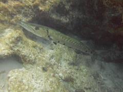 Barracuda Sightings Grecian Rocks Reef Key Largo Florida (Sail Fish Scuba) Tags: barracuda sightings grecian rocks reef key largo florida