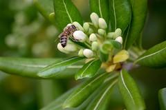 Nature (pho-toc) Tags: nature fleur flower macro abeille