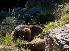 20180521-P1680414 (Dudli Photography) Tags: wildschwein damhirsche murmeltier gems waldkatze peter und paul