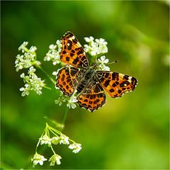 Landkaartje......... (atsjebosma) Tags: macro butterfly spring lente voorjaar vlinder atsjebosma groningen thenetherlands fluitekruid flowers bloemen araschnialevana coth5 ngc npc