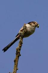 DSC09169 - Long tailed Tit (steve R J) Tags: long tailed tit benfleet downs essex birds british feeding
