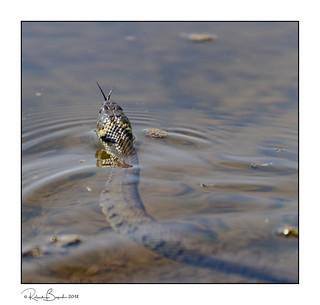 Snaking away - Grass Snake