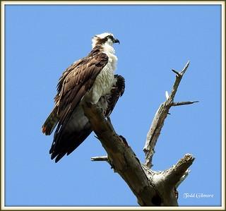 Osprey in Tree