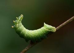 Endromis versicolora - Caterpillar (westgpottery) Tags: endromis versicolora kentish glory gevlamde vlinder moth caterpillar rups raupe