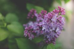 Lilac (JMS2) Tags: flowers spring purple lilac blossom bokeh nature petals