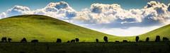 Cattle Silhouettes (Charlie Day DaytimeStudios) Tags: california cattle cloudy fremontca hill hillside light sanfranciscobayarea vargasplateau winter