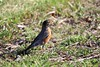 American Robin (Piedmont Fossil) Tags: ferry point park kent island narrows maryland bird wildlife