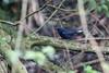 White-tailed Robin (Myiomela leucura montium), Dasyueshan, TW, 20180425-103.jpg (maholyoak) Tags: taiwan myiomelaleucuramontium whitetailedrobin dasyueshan hepingdistrict taichungcity tw