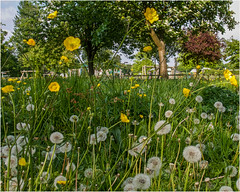 Day 141 Buttercups and dandelions (Dominic@Caterham) Tags: buttercups dandelions grass trees sky park spring flowers
