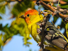 Western Tanager Male (figllano) Tags: elements