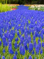 Floral River (s.d.sea) Tags: floral flower rive purple garden plant plants roozengaarde mount vernon washington washingtonstate pnw pacificnorthwest pentax k5iis grow spring blue grape hyacinth tulip festival skagit valley