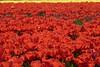 DSC04597 (derek_2001) Tags: tulips noordwijk holland bollenveld field