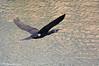 Cormorano _019 (Rolando CRINITI) Tags: cormorano uccelli uccello birds ornitologia canaledicalma genova natura