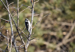 Tree with Downy Woodpecker (Run2Find) Tags: falconheightscommunitypark 2018citynaturechallenge downywoodpecker picoidespubescens