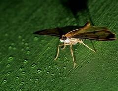 MOON MOTH P1250675 (Steve & Alison1) Tags: charred moon moth cnaphalocrocis sp cotachena spilomelinae crambidae 24mm wingspan airlie beach rainforest