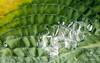 Imagination (croqlum) Tags: proxiphotographie feuille nature artistique abstract structure green plant macrophotography macro droplet macrophotographie leaf plante dew regards abstrait gouttelette vert rosée hosta