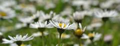 Daisyscape (conall..) Tags: daisy parque del buen retiro parquedelbuenretiro bellis perennis common asteraceae flower flowerhead composite bellisperennis commondaisy
