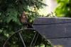 ♁ Eurasian Blackbird / Amsel (CJH Natural) Tags: amsel blackbird eurasianblackbird nesting farm nature wildlifephotography naturephotography light licht wild natur wildlife bird vogel avian birding birder birdwatching twitching twitcher rspb beauty beautiful lovely fantastic wonderful pose nikon nikond500 nikkor200500mm 200500 edvr 200500edvr
