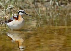 Wilson's Phalarope...#5 (Explore on 5/3/18) (Guy Lichter Photography - 4M views Thank you) Tags: wilsonsphalarope canon 5d3 canada manitoba wildlife animal animals bird birds explore