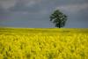 Lorraine - Lachaussée (denis.fleurot) Tags: lorraine france colza grandest champ arbre jauneetgris espacenégatif