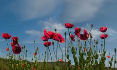 Dancing poppies (Tati@) Tags: papaveri fiori danza natura colori rosso poppies dance nature flowers