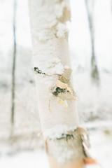 Birch Tree (dreamscapesxx) Tags: canoneos80d lensbabyoriginal digital softfocus blurred birch snowy winter inthebackyard barrytonmi