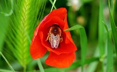 Eucère, abeille à longues antennes.. femelle (Bangui59) Tags: eucère abeille