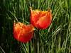 "Tulip ""Lambada"" (Kniphofia) Tags: orange rhsharlowcarr tulip lambada fringed"