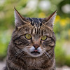 Stick his tongue out (Nicolas Rouffiac) Tags: merlin cat cats chat chats pet portrait langue tongue stick