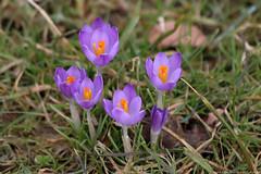 Crocus (Rick & Bart) Tags: goslar crocus flower spring purple germany flora rickvink rickbart canon eos70d