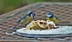 Some Birds Like Cake (4) (howell.davies) Tags: blue tit bluetit bluetits tits birds bird wildlife cake garden hendy wales uk nikon d3200 55300mm