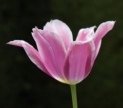 Tulip #1 (MJ Harbey) Tags: tulip pinktulip tulipa plantae lilieae flower nikon d3300 nikond3300 ascotthouse nationaltrust buckinghamshire garden