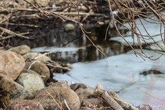 Trapped (vickieklinkhammer) Tags: water outdoors rock wood nature outdoor noperson bank pile standing creek sitting white stream brown rubble environment area ground soil branch covered stone black plant season vegetation bear land dry rocky marsh closeup swamp fungus dirt birch reflection lake ice floats daytime spring day afternoon boulders rocks bramble daylight landscape