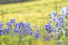 More Spring Flowers (Jims_photos) Tags: wildflowers texas yellowflower yellowflowers unitedstates outdoor outside adobelightroom adobephotoshop austintexas shadows sunnyday daytime flowers jimallen jimsphotos jimsphotoswimberleytexas lightroom landscape nopeople nikond750