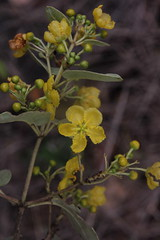 Stigmaphyllon australiense Malphigiaceae 0318 07 Many Peaks Range (John Elliott Townsville) Tags: manhypeaksrange stibmaphyllon stigmaphyllonaustraliense monsoonarf vinethicketarf arfp cyrfp qfrp tropicalarf lowlandarf uplandarf arfflowers yellowarfflowers malpighiaceae
