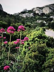 Sormiou Floral mai 2018 -  04 (akunamatata) Tags: sormiou floral balade mai 2018 parc des calanques park provence fleurs flowers sentier sciatique