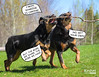 """""""Sticking"""" together. (Keshet Kennels & Rescue) Tags: rottweiler two pair stick play playing dogs fetch friends best duo"""