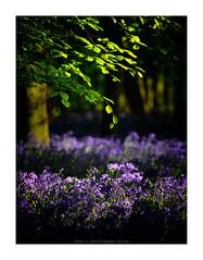 Accompany [Explored-13/05/2018] (Tony Lu) Tags: bluebell nationaltrust ashridge may england green leaf purple canon70200f4lusm sonya7rm2 dockeywood