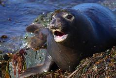Elephant seal on shore (Robyn Waayers) Tags: northernelephantseal elephantseal elephantseals seal seals miroungaangustirostris sansimeon california robynwaayers
