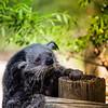 Binturong (Zeeyolq Photography) Tags: ménagerie binturong zoo paris jardindesplantes animals france