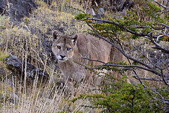 Special Moments (Explore) (Spectacle Photography) Tags: torres del paine national parkchileparque nacional painechilean patagonia torresdelpaine torresdelpainenationalpark chile parquenacionaltorresdelpaine chileanpatagonia chilephotography 2018 wildlife wildlifewatching wilderness nationalpark southamerica puma ghostcat mountainlion leóndemontaña cougar pumaconcolor pumaconcolorconcolor chileflickr