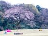 Sakura, some are very relaxed, he didnt move an inch (stove007) Tags: shibuja blossom wedding shinjuku ueno modern sakura tradtion cherry crossing train ramen blooming sake jrline tokyo park shibuyaku tōkyōto japan jp