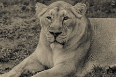 Lioness (lee mtah) Tags: lioness lion lions wildlife wild africa canon cute animal animals zoo nature