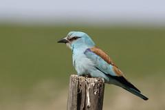 European Roller (Chris B@rlow) Tags: coraciasgarrulus roller europeanroller blue alentejo portugal canon7dmarkii sigma150600sport nature birds bird wildlife