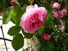 Roses in Balchik botanical garden, Bulgaria (cod_gabriel) Tags: bulgaria balchik balcic botanicalgarden balchikbotanicalgarden shallowfocus dof depthoffield shallowdof shallowdepthoffield cadrilater dobrogea dobruja dobrudja rose roses trandafir trandafiri