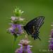 Black Swallowtail on Horsemint